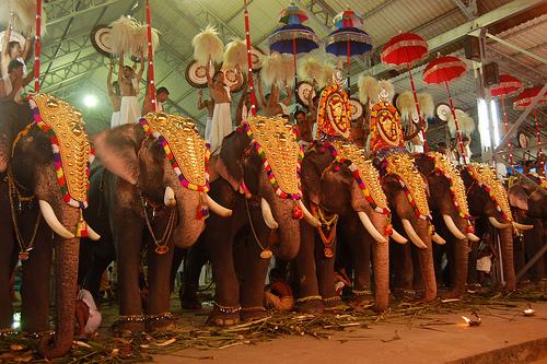 Decorated Indian elephants