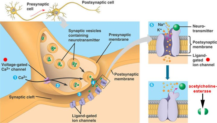 Tetanus neurotoxin affects the neuro-muscular junction.