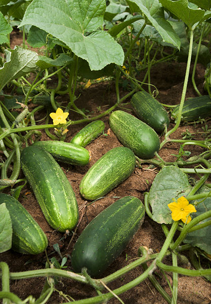 Kachumbar/Cucumber, Cucumis sativus, a native of India.