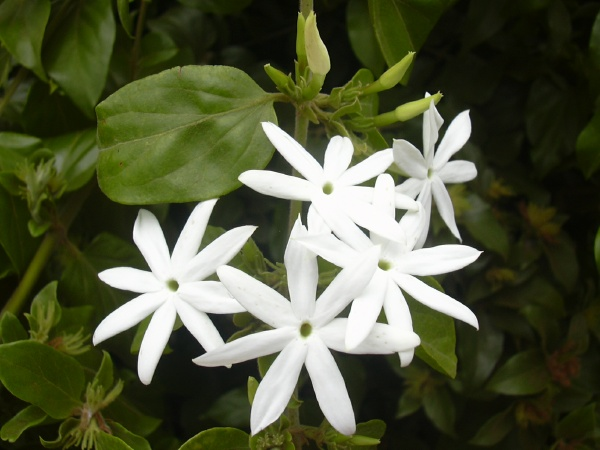 Jasminum multiflorum,'KUNDA', Star Jasmine, Native of India.