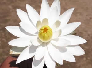 Nelumbo nucifera, White Lotus flower,'Shwetha Padmaa',Native of India.