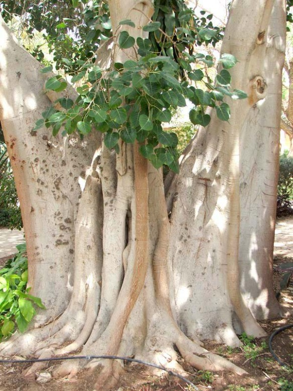 "Ficus religiosa or the Bodhi Tree is often worshipped in India. The tree is also described as ""Sthaanuu"" which means immovable."