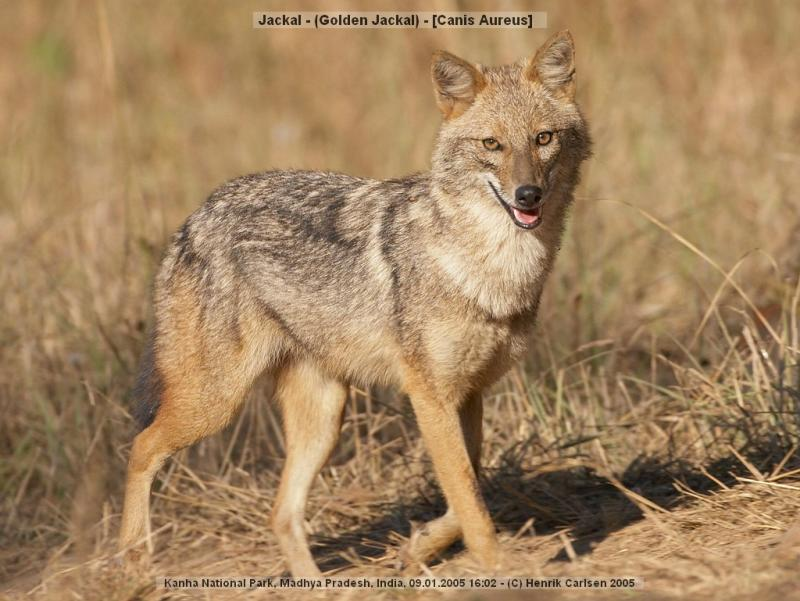 """The humble  and shy Indian Jackal is also described as """"SHIVA""""."""
