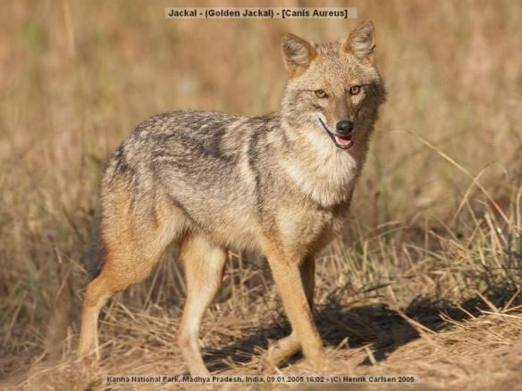 "The humble  and shy Indian Jackal is also described as ""SHIVA""."