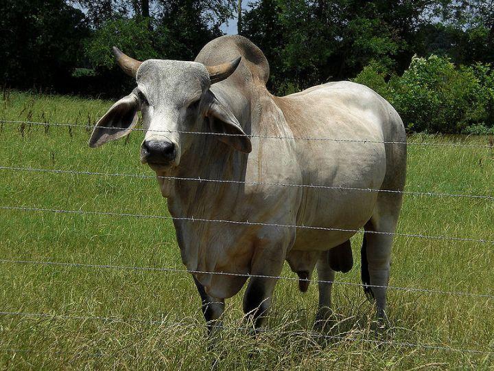 PASUPATI, BULL - Bos indicus, Zebu, the Brahman Bull; family Bovidae.