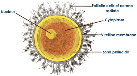 A Diagram of the Human Ovum   ClipArt ETC
