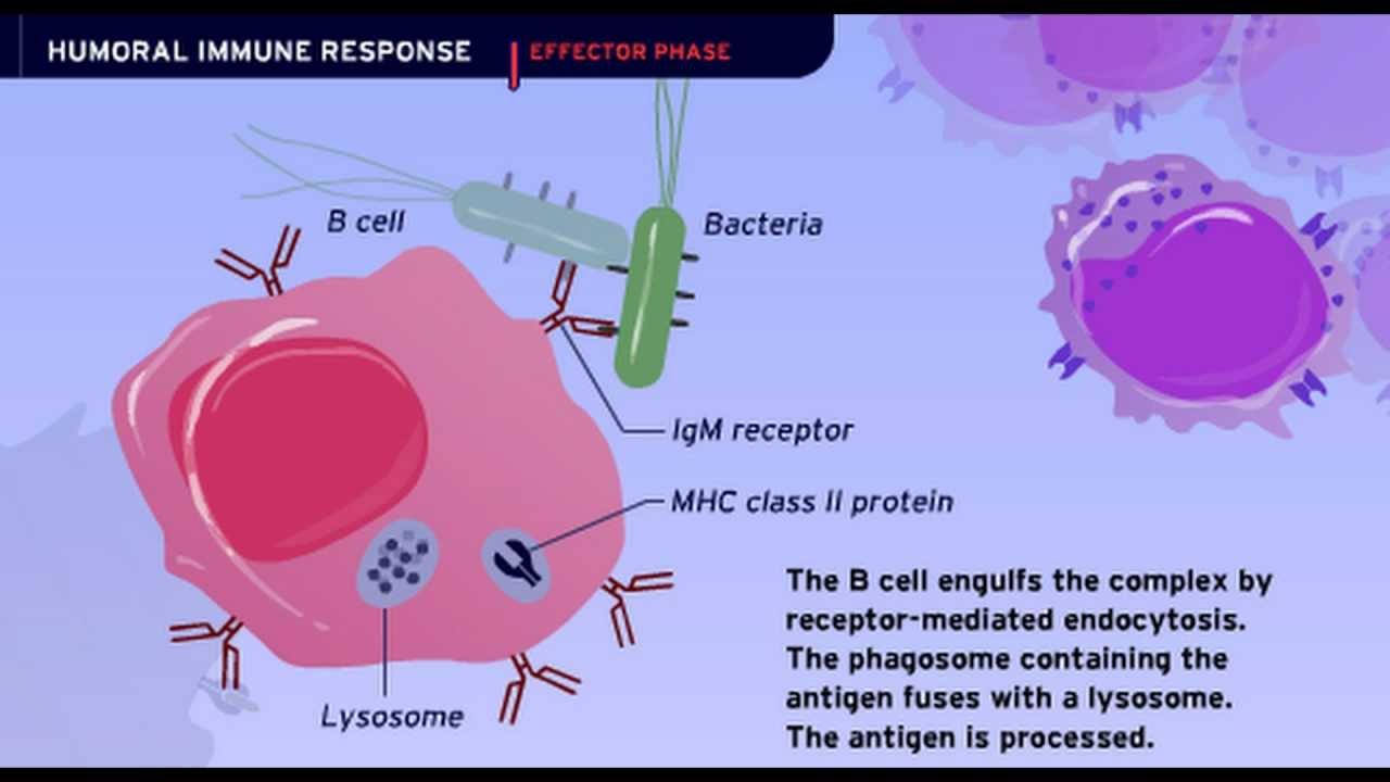 humoral immunity human immune response defense existence tat asmi prabhu fifth protein molecules counteract deployment defending involves foreign unique molecular