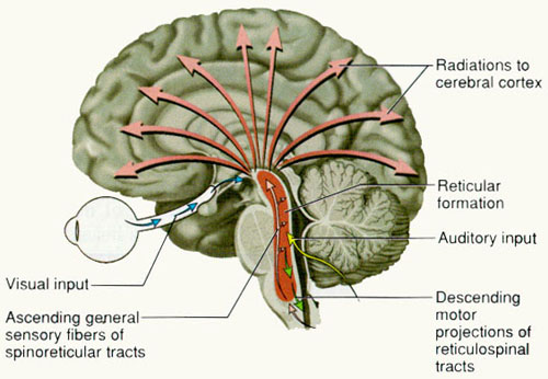 the features of human brain formation The outermost layer of the cerebral hemisphere which is composed of gray matter cortices are asymmetrical both hemispheres are able to analyze sensory data, perform memory functions, learn new information, form thoughts and make decisions.