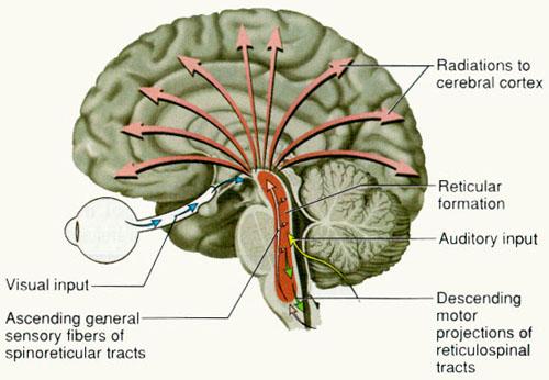 Reticular Formation -