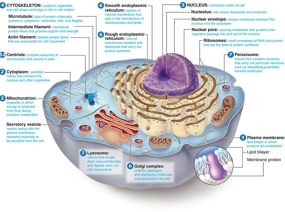 The Cell Structure known as Nucleus is the Seat of Knowledge.