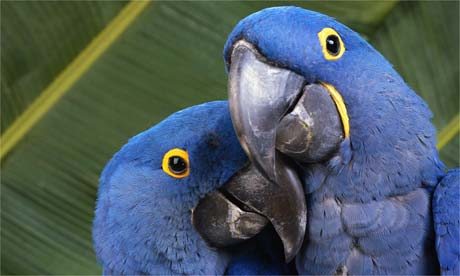 WholeDude-Whole Designer: Biological Coloration. Hyacinthine Macaws - Anodorhynchus hyacinthinus. The visual, sensory experience of this color is a dynamic, complex event.