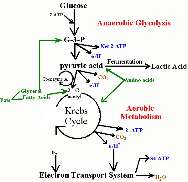 Importance of phosphates to the metabolism in both plants and animals