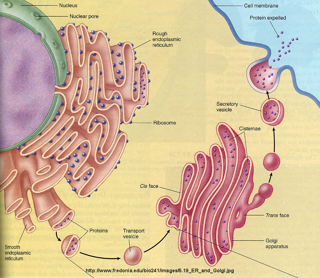 The description of the golgi apparatus and its fiction