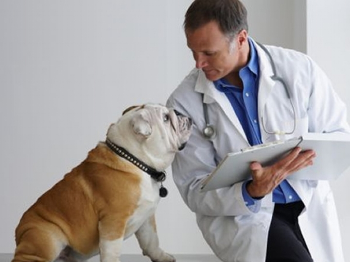 Spiritualism-Dog Evolution-The Problem of Diabetes: We need to recognize the nature of dog as a carnivore and provide a diet that consists primarily food from animal matter. Dogs cannot depend upon 'AMYLASE' enzyme to defend their well-being consuming human food.