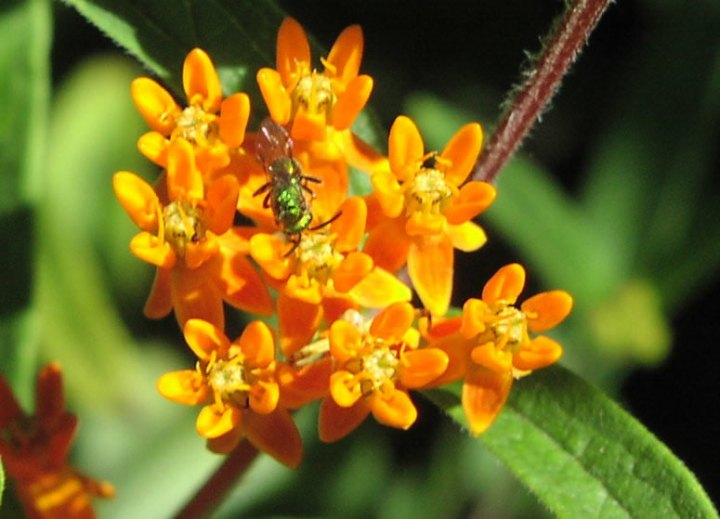 Spiritualism-The Colors of Life: What is Color? Bees are active during day and are attracted by brightly colored flowers such as the flowers of Milkweed.