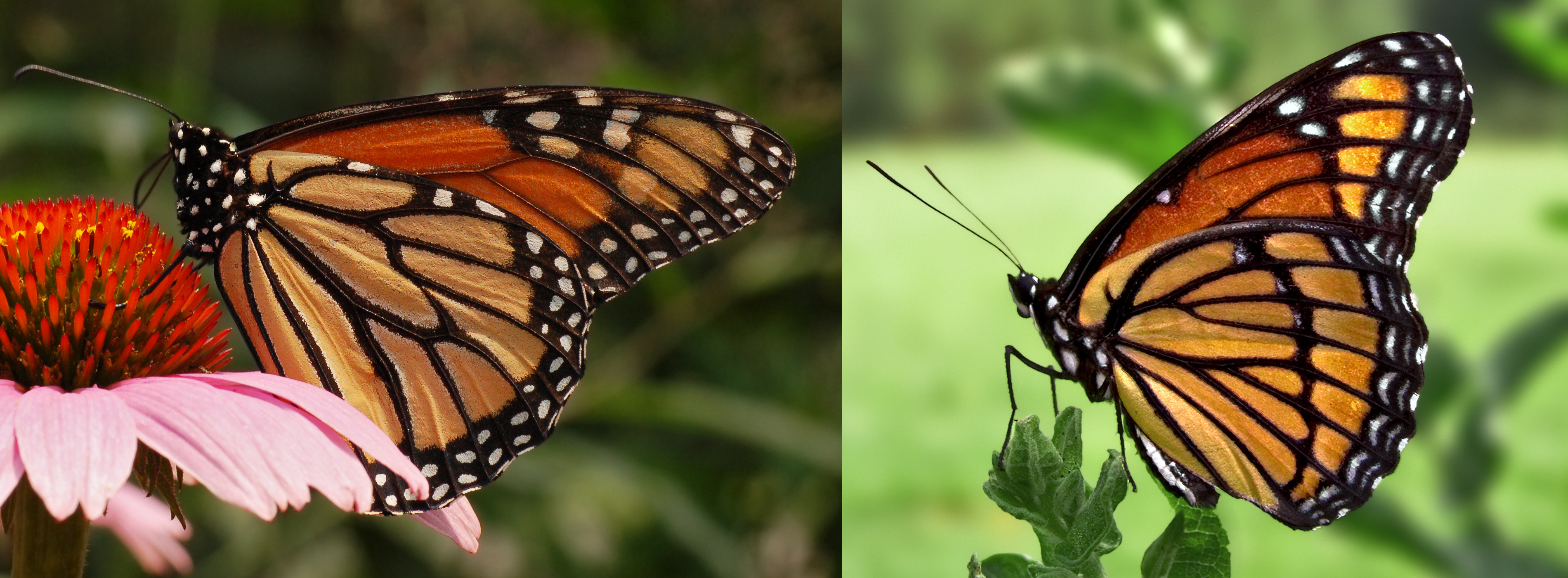 Spiritualism-The Colors of Life: What is Color? Color may serve as a warning sign and it involves the use of bold markings. Mimicry involves deceptive coloration in which the animal deceptively uses the warning coloration of another animal.Monarch butterfly/The Viceroy butterfly: The North American Monarch is poisonous and is distasteful and is protected by its Warning Coloration which the Viceroy uses for its Mimicry.