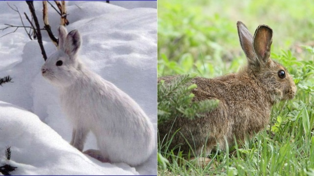 Spiritualism-The Colors of Life: What is Color? The purpose of Color may relate to change in temperatures, environmental changes associated with changing Seasons. The Snow Hare is white in Winter and is Brown during Summer and Autumn.
