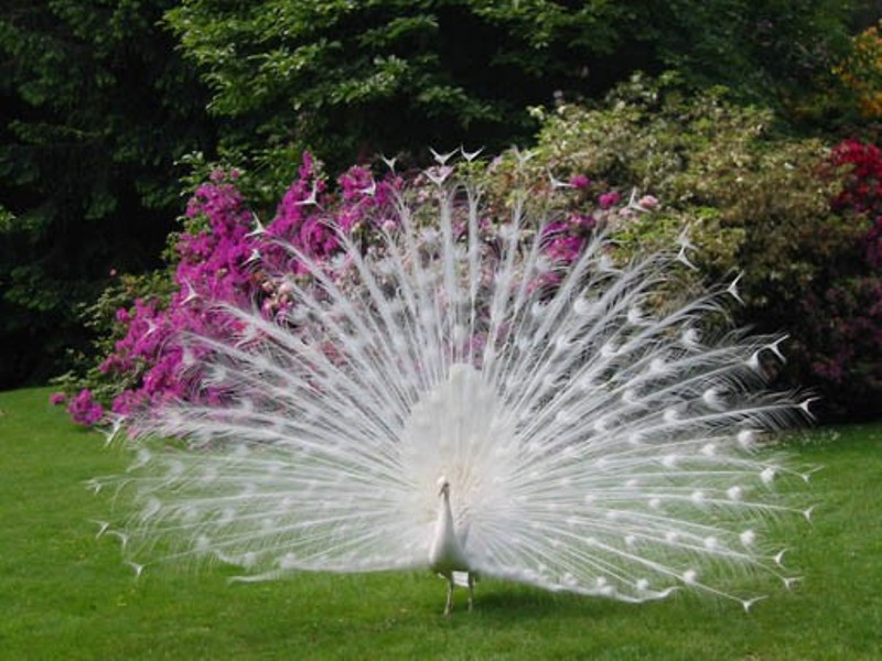 Whole Dude-Whole Colors: What is Color? This is definitely a pretty sight. This albino Peacock would not have the advantage of attracting its mate during the mating season as compared to its normal colored partner.