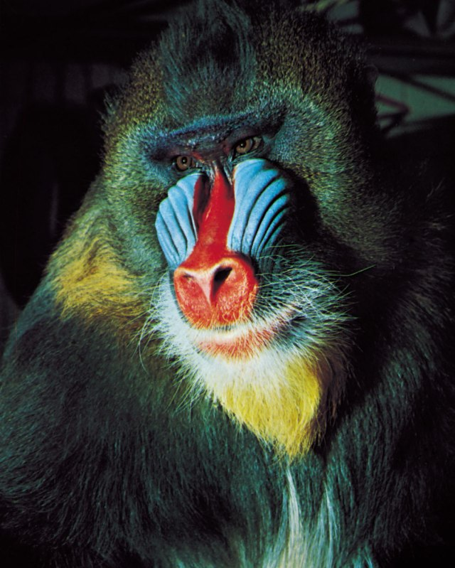 Whole Dude-Whole Colors: Display Coloration. Courtship Coloration of male Mandrill(Mandrillus sphynx).