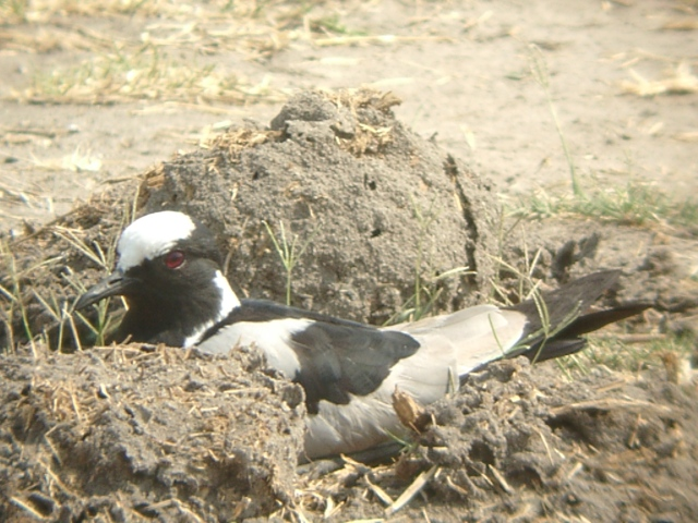 Spiritualism in Images: Disruptive and Concealing Coloration. Blacksmith Plover. Vanellus armatus.