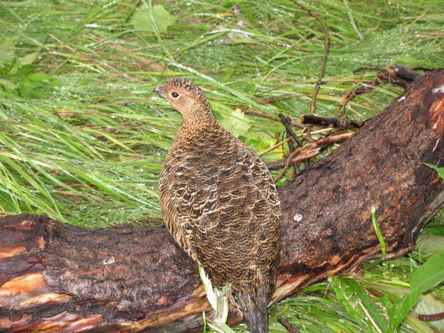 Spiritualism in Images: Willow Ptarmigan. Lagopus lagopus.