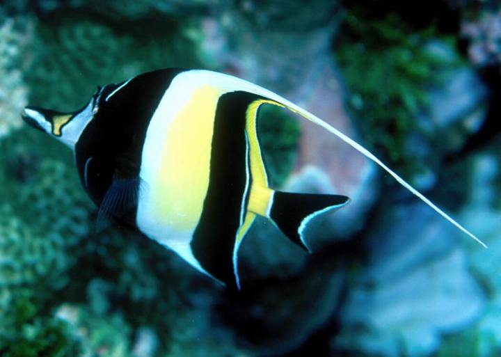 Spiritualism in Images: Disruptive and Concealing Coloration. Moorish Idol. Zanclus canescens.