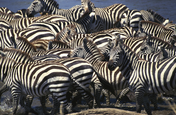 Spiritualism in Images: Disruptive Coloration of Zebras - Equus burchelli