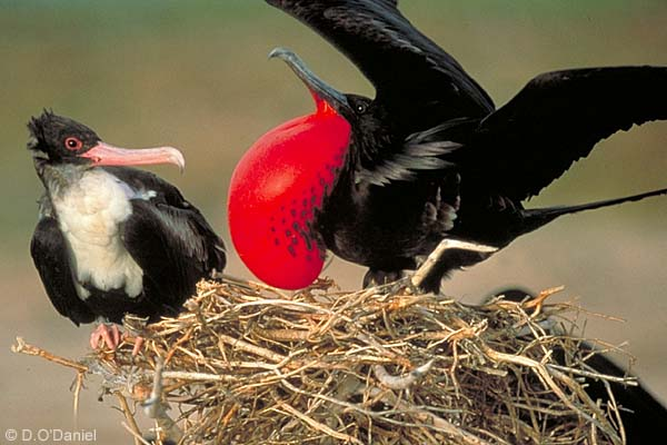 Whole Dude - Whole Colors: Display Coloration, Flash Colors of male frigate bird(Fregata minor) with red throat patch inflated to attract a female.