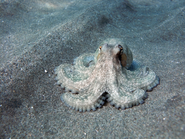 Spiritualism in Images- Adaptive Coloration. Octopus vulgaris can blanch and change its coloration.