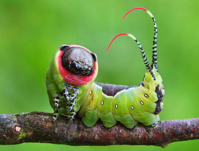 Spiritualism in Images: Warning Coloration. Puss moth caterpillar Cerura when threatened, raised head and tail thorns displayed.