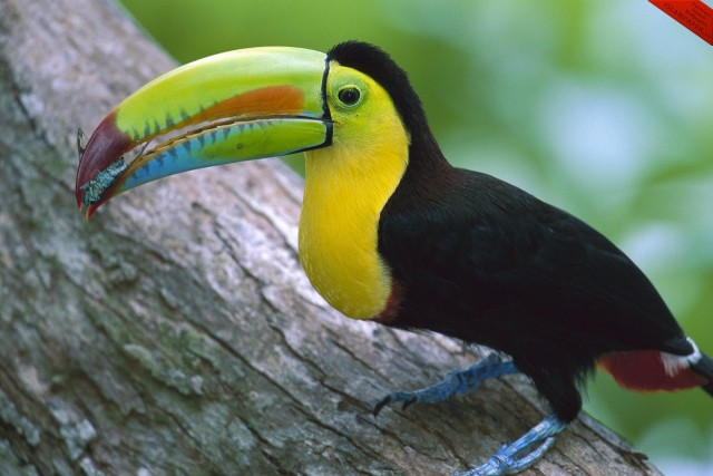 Whole Dude - Whole Colors: Display Coloration. Keel-billed Toucan(Ramphastos sulfuratus) uses color for species recognition.