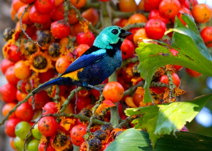 Spiritualism in Images: The Superb Tanager. Tangara fastuosa. What is Color? What generates the Color? This Superb creature is known for its Tyndall Blue Color.