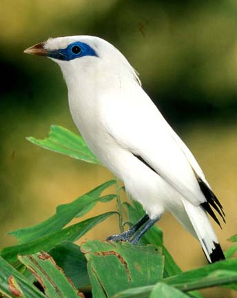 WholeDude-WholeDesign: Mynah, Bali Starling, Leucopsar rothschilidi, the whiteness is an example of Tyndall Effect.