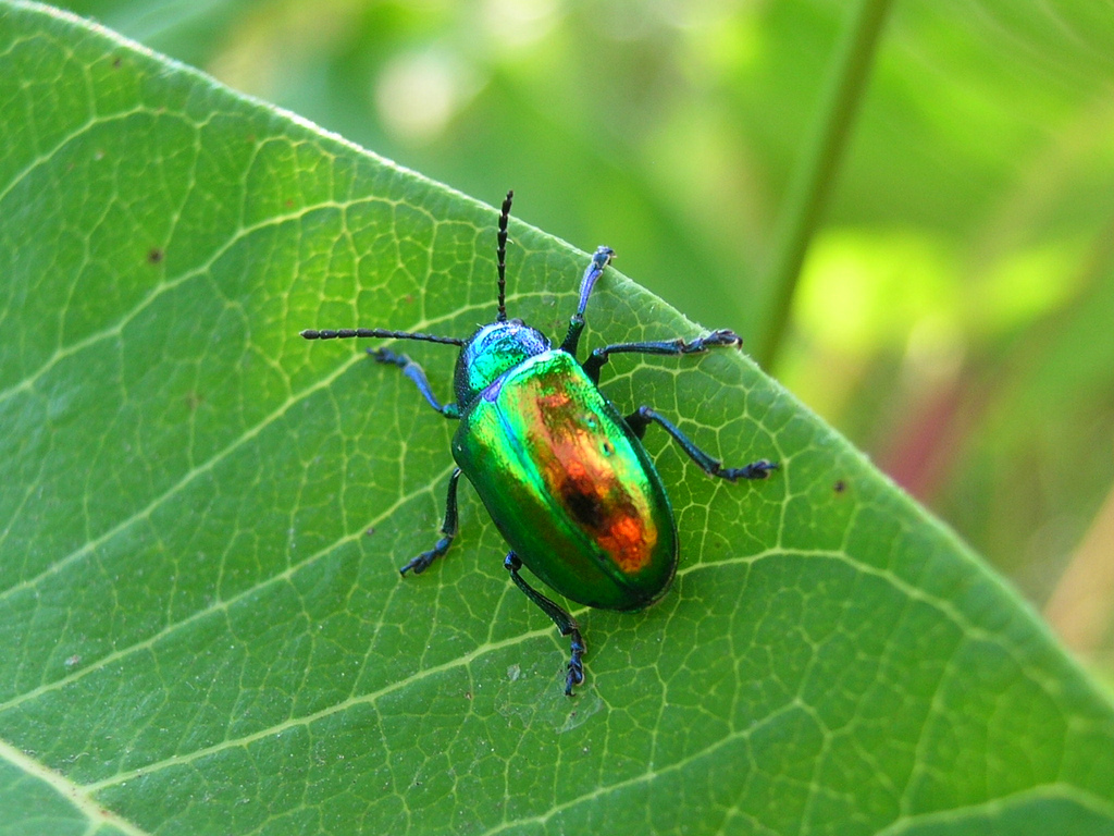 WholeDude-WholeDesign: Iridescent Beetle is an example of the reflective light caused by structural elements.