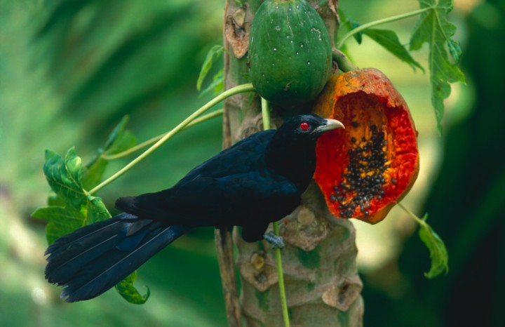 "WholeDude-WholeTweet: The Cuckoo of India called ""KOEL"", Eudynamys scolopacea symbolizes the thoughts that I ""Tweet."""