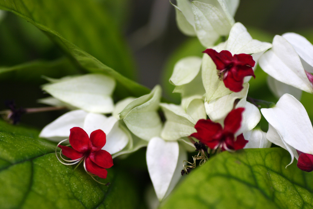 WholeDude-WholeDesigner: Clerodendrum thomsonae. Bleeding heart glory-bower from Africa. Blooms resemble bleeding heart and the leaves are heart-shaped, glossy, dark-green. The plant exists blissfully without any awareness of an anatomical organ called heart.