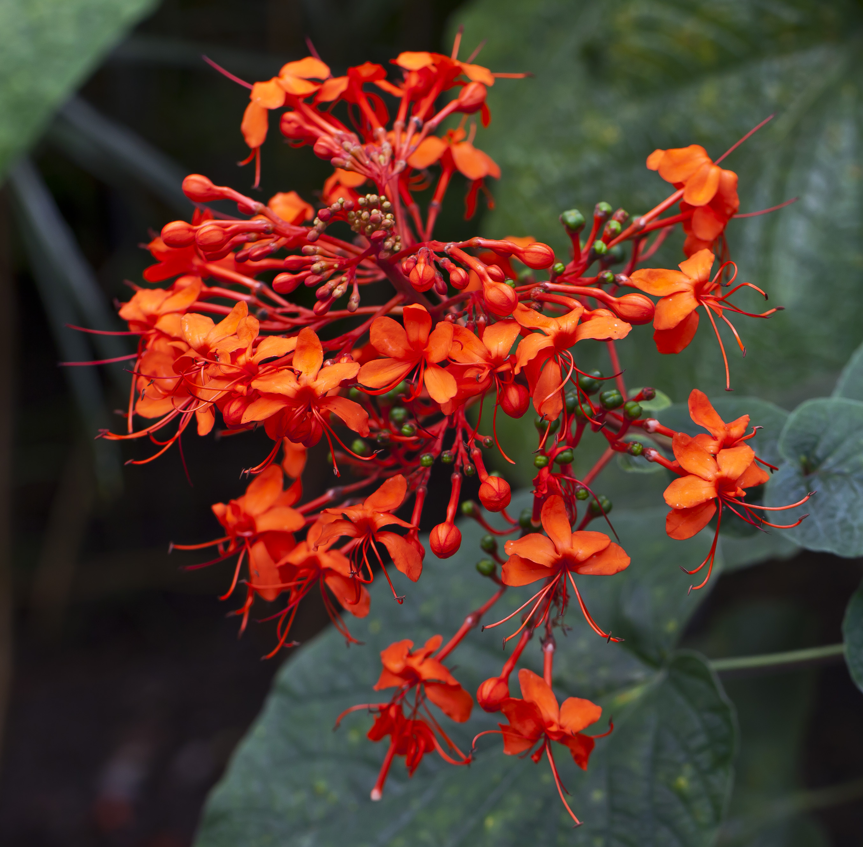 WholeDude-WholeDesigner: Glory-bower from Asia. Clerodendrum speciosissimum. Flame-Orange flowers above heart-shaped bronze leaves.