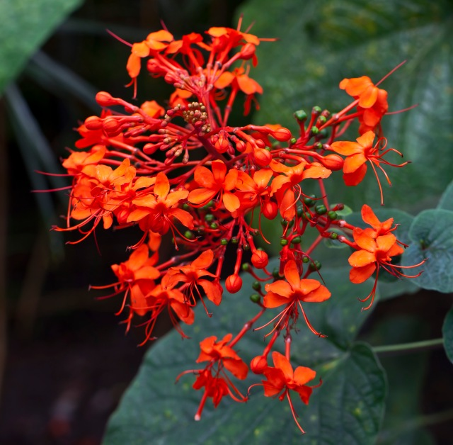 WholeDude-WholeDesigner: Glory-bower from Asia. Clerodendrum speciosissimum. Flame-Orange flowers above heart-shaped bronze leaves.