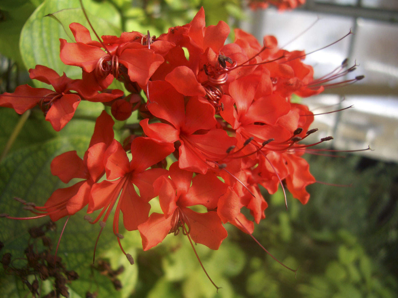 WholeDude-WholeDesigner: Flaming, or Scarlet Glory-bower, Clerodendrum spendens. Red-Orange flowers among heart-shaped leaves.