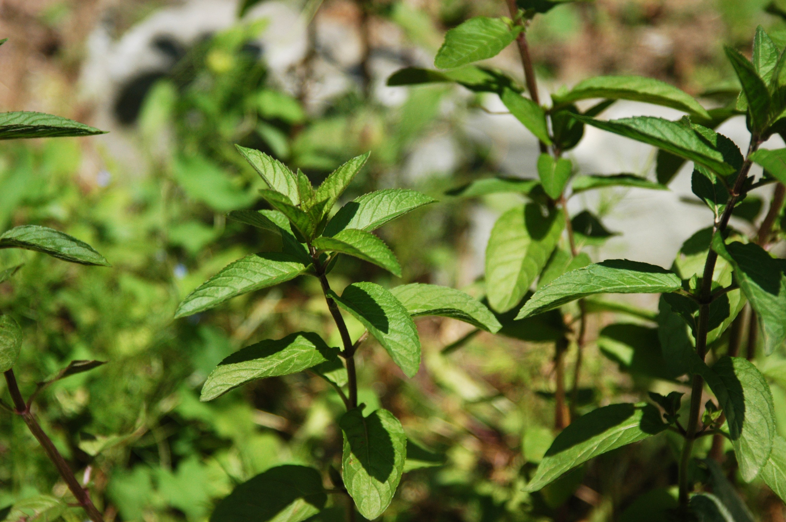 WholeDude - WholeDesigner - WholeMagic: Mentha piperita known for its aromatic, fragrant foliage.