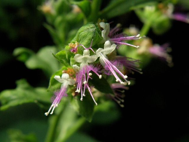 WholeDude - WholeDesigner - WholeMagic: Patchouli is known for its musky, sensuous odor.