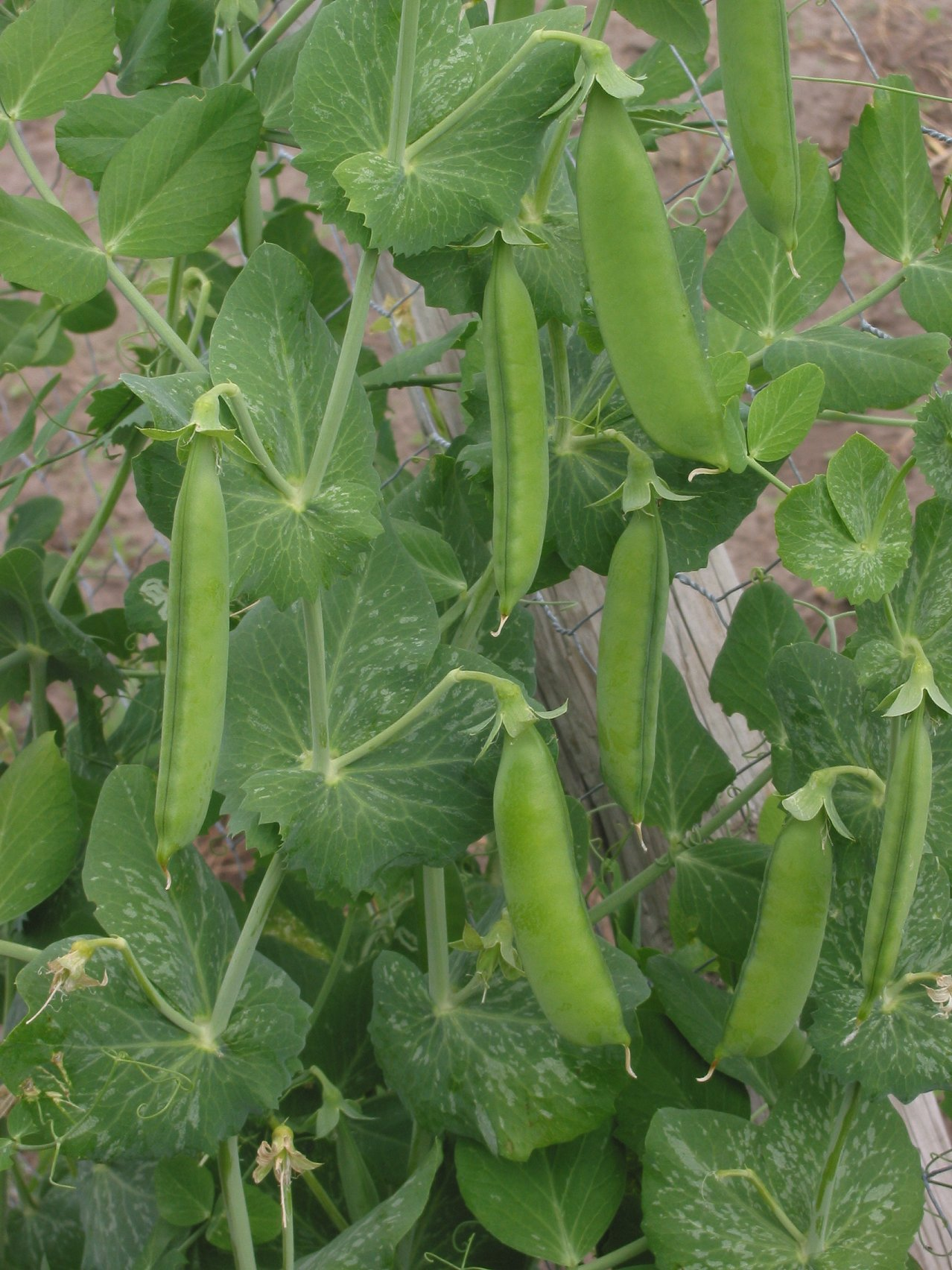 WholeDude - WholeDesigner - WholeMagic: Pisum sativum. The sweetness of fresh, garden peas can be instantly recognized and is cultivated by man for thousands of years.