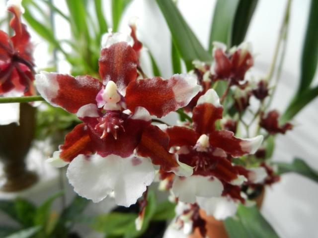 WholeDude - WholeDesigner - WholeMagic: Oncidium aureum, Redolence Orchid is known for its rich, pleasant combination of smells called heavenly scent.