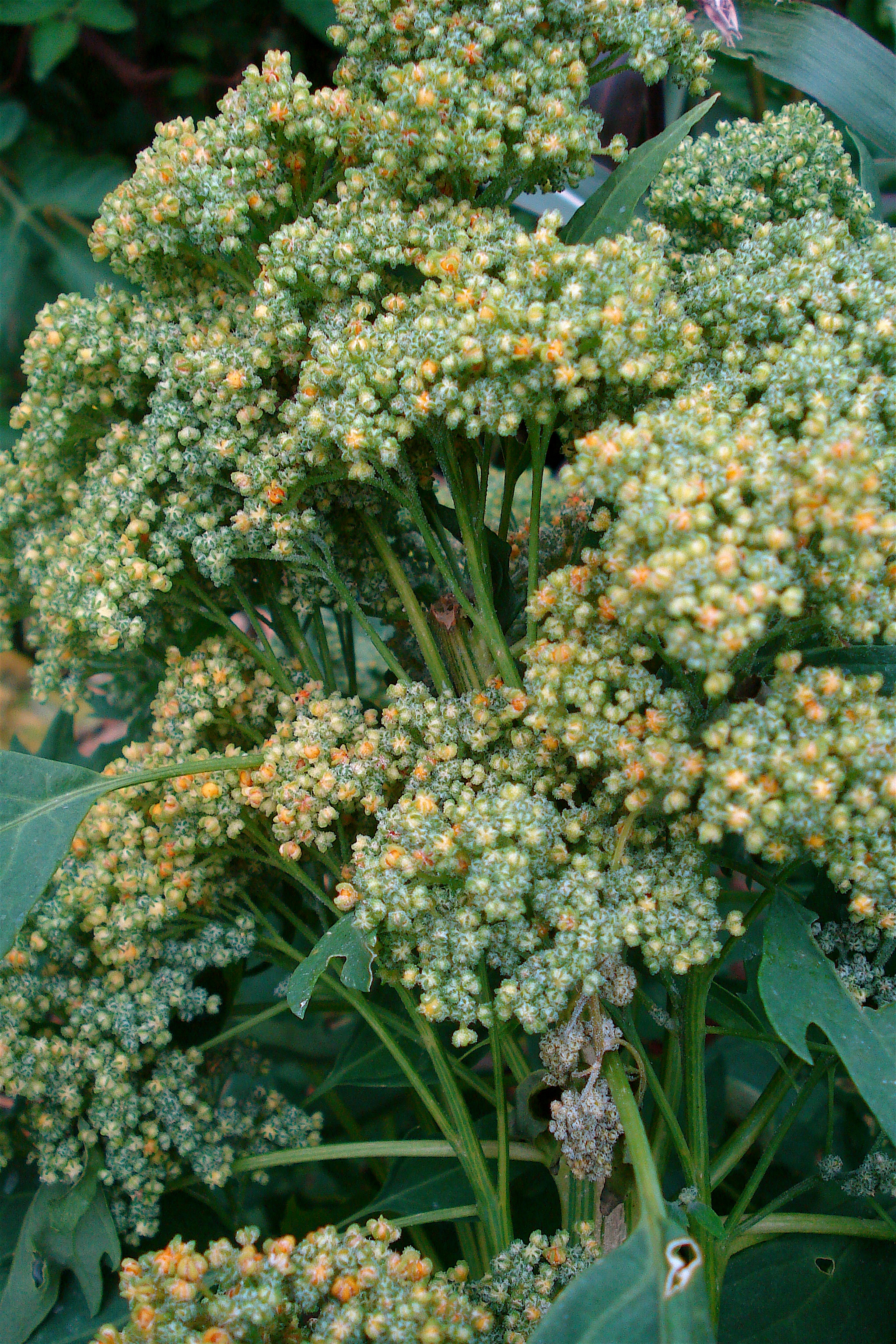 WholeDude - WholeDesigner - Phytochemistry: Chenopodium quinoa synthesizes several amino chemical compounds called Polyamines such as Putrescine, Spermine, and Spermidine which are also present in the human, male reproductive secretion called Seminal Plasma or Semen.