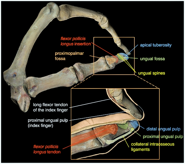 SPIRITUALITY SCIENCE - THE STATUS OF MAN IN NATURE: The Grasping ability of Hand can perform two functions; 1. The Pressure Grip, and 2. The Precision Grip. The image shows the anatomy of the distal phalanx and its relationship with soft structures that are related to refined manipulation of tools or objects held by the Grip.