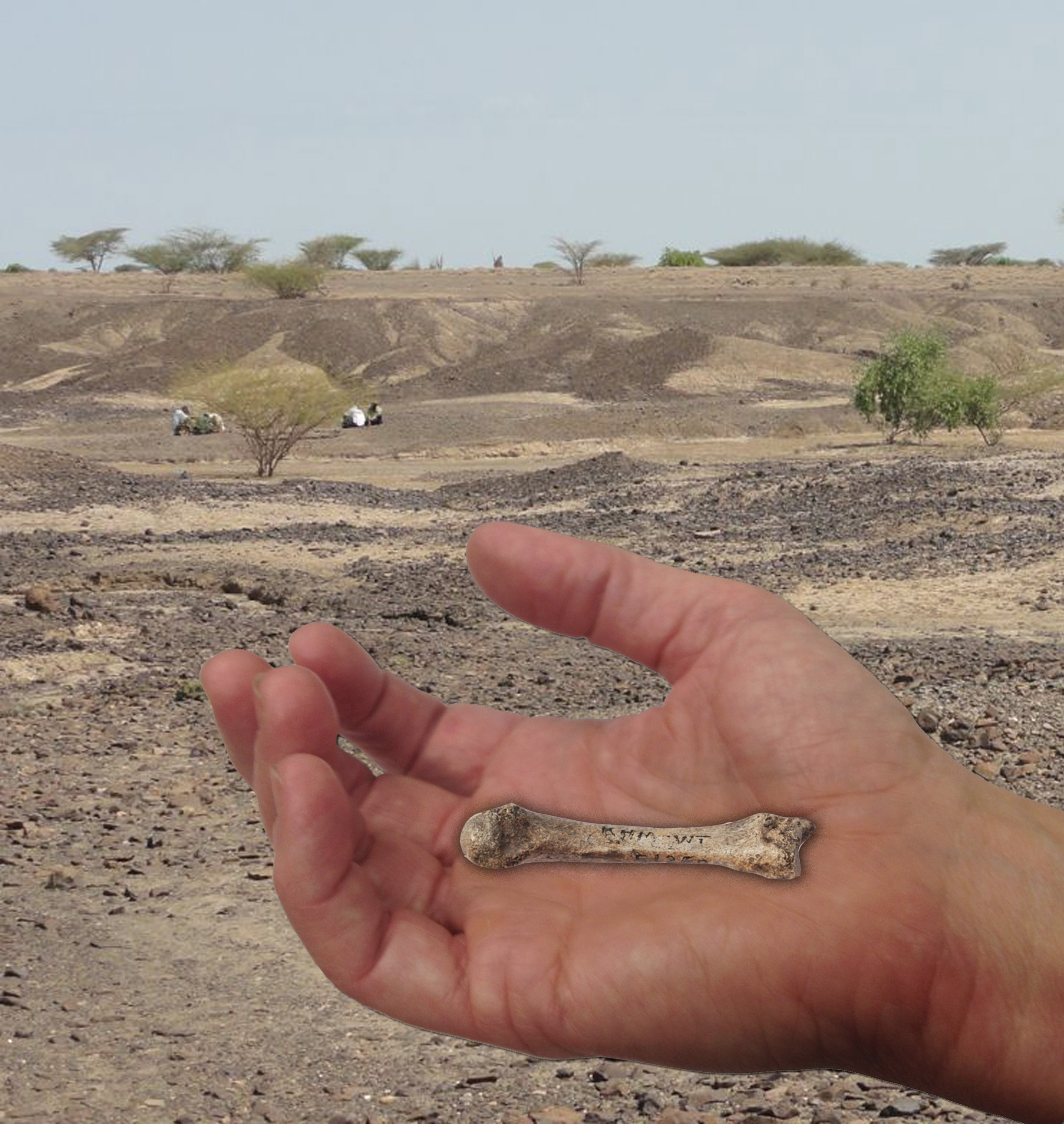 SPIRITUALITY SCIENCE - THE ORIGIN OF HUMAN SPECIES: The discovery of this Metacarpal Bone of the Middle Finger at Kaitio site, West Turkana, Kenya, that could be more than 1.42 million years old raised the hope of finding an intermediate link between the Human Species and other Anthropoid Apes.