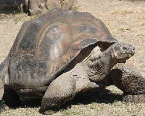 SPIRITUALITY SCIENCE - AGING AND LONGEVITY: TORTOISE IS THE LAND-LIVING TURTLE SPECIES. THEY ARE IN EXISTENCE FROM THE TRIASSIC PERIOD, ABOUT 200 MILLION YEARS AGO. THIS GALAPAGOS GIANT TORTOISE(TESTUDO ELEPHANTOPUS) CAN LIVE UPTO 177 YEARS. THE ALDABRA GIANT TORTOISE NAMED ADWAITA LIVED FOR 250 YEARS.