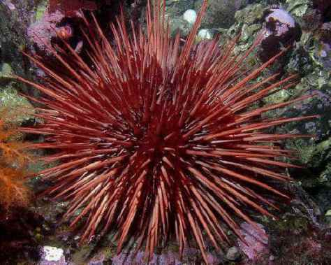 SPIRITUALITY SCIENCE - AGING AND LONGEVITY: SEA URCHIN(PHYLUM ECHINODERMATA), STRONGYLOCENTROTUS FRANCISCANUS LIVES IN PACIFIC OCEAN. IT CAN LIVE FOR ABOUT 200 YEARS.
