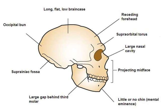 SPIRITUALITY SCIENCE - THE ORIGIN OF HUMAN SPECIES: COMPARING HUMAN SKULL WITH THAT OF NEANDERTHAL SKULL HELPS TO UNDERSTAND THE PROBLEM OF HUMAN EVOLUTION. MODERN HUMANS SHARE SEVERAL FEATURES AND CHARACTERISTICS OF OTHER HOMINID SPECIES BUT THOSE SIMILARITIES MAKE THE ISSUE MORE DIFFICULT TO EXPLAIN.