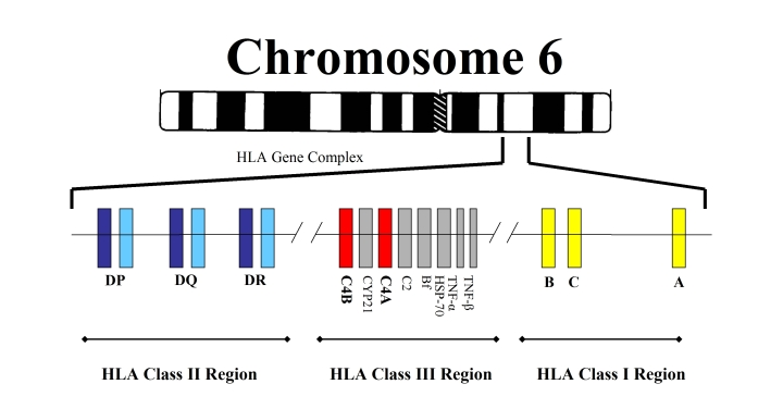 SPIRITUALITY SCIENCE - HUMAN EVOLUTION: THE MAJOR HISTOCOMPATIBILITY COMPLEX(MHC) IS THE HUMAN LEUKOCYTE ANTIGEN(HLA) GENE CLUSTER ON CHROMOSOME 6. HUMAN ORGANS AND TISSUES CANNOT BE TRANSPLANTED OR GRAFTED INTO THE BODIES OF UNRELATED INDIVIDUALS. HUMAN IDENTITY MUST BE DISCOVERED AT MOLECULAR LEVEL TO ESTABLISH THE AFFINITY BETWEEN TWO HUMAN INDIVIDUALS.